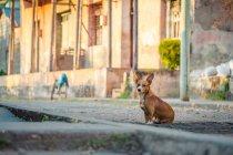 Vista do cão sentado na rua de Cuba — Fotografia de Stock