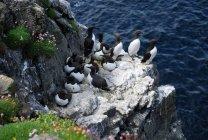 Общие кайры птиц на побережье рок — стоковое фото