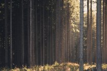 Sunbeams in summer forest with long trees — Stock Photo