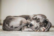 Sleeping pet dog — Stock Photo