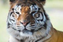 Портрет крупным планом тигра — стоковое фото