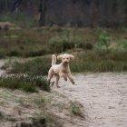 Vista frontal do poodle correndo na floresta — Fotografia de Stock