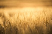 Spring cereals fields. — Stock Photo