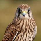 Portrait of falcon looking in camera — Stock Photo