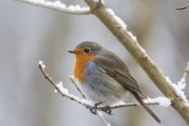 View of robin redbreast sitting on tree branch — Stock Photo