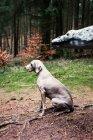 Weimaraner dog sitting in woods near dinosaur statue — Stock Photo