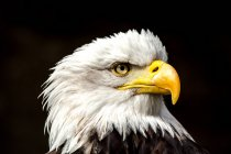 Wild eagle looking around — Stock Photo