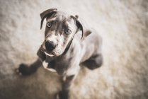 Cute great dane dog — Stock Photo