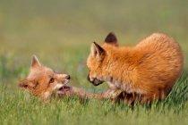 Rotfuchs Tiere im freien — Stockfoto