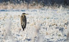 Bird standing on snow-covered meadow — Stock Photo