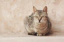 Chat gris avec des yeux jaunes — Photo de stock