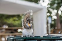 Squirrel animal outdoors — Stock Photo
