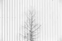 Foto preto e branco da pequena árvore perto da parede — Fotografia de Stock