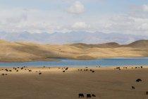 Скот на берегу озера в Кыргызстане — стоковое фото