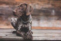 Chien de pointeur Shorthair située sur le porche en bois — Photo de stock