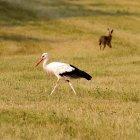 Lièvre traversant la cigogne dans Prairie — Photo de stock