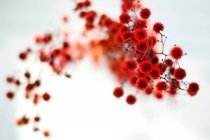 Abstrakte Ansicht der roten Blüten auf weißem Hintergrund — Stockfoto