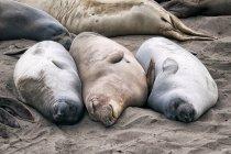Group of sea lions resting on coastline — Stock Photo