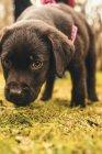 Cão de raça Labrador — Fotografia de Stock