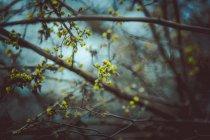 Branches d'arbres avec des bourgeons Bourgeonnez — Photo de stock