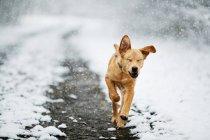 Labrador Zucht Hund — Stockfoto