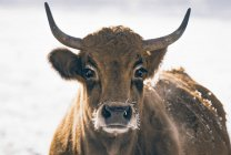 Cow with horns standing outdoors in snow — Stock Photo