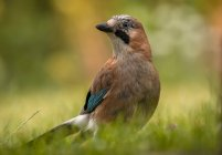 Vista del primo piano dell'uccello del jay sul prato verde — Foto stock