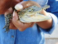Close-up view of person holding baby crocodile in hands — Stock Photo