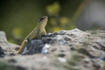 Durante o dia closeup exibição de um pequeno lagarto, repousando sobre a rocha — Fotografia de Stock