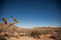 Dessert terrain view with Joshua Trees — Stock Photo