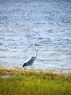 Héron cendré, marchant sur les rives herbeuses — Photo de stock