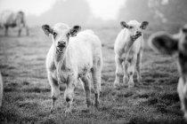 Vacas graizing ao ar livre — Fotografia de Stock