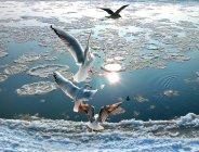 Чайки, пролетел над снежной реки — стоковое фото
