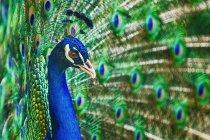 Colorful peacokc bird — Stock Photo