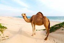 Blick auf Kamel in der Wüste natürlichen Lebensraum — Stockfoto