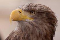 Aquila selvaggia all'aperto — Foto stock