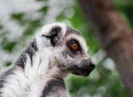 Ring-tailed lemur head portrait — Stockfoto