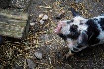 Un piccolo porcellino in granaio dell'azienda agricola — Foto stock