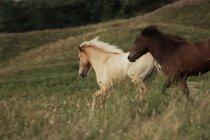 Pony di Islanda, cavalli islandesi — Foto stock