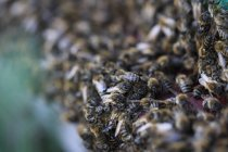 Honey bees busy at hive — Stock Photo