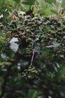 Baies vertes et les feuilles sur les rameaux de bush — Photo de stock