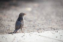 Close-up view of sparrow bird on sand — Stock Photo