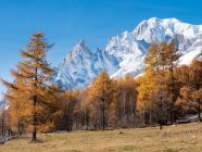 Larch trees and the snowy peaks — Stock Photo