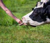 Person feeding cow with grass — Stock Photo