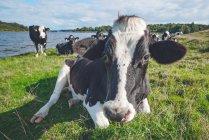 Le mucche graizing all'aperto — Foto stock