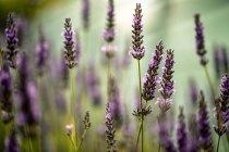 Flores frescas de lavanda perfumada - foto de stock