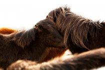 Pôneis de Islândia, cavalos islandeses — Fotografia de Stock
