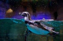 Pingüino nadando en agua - foto de stock