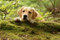 Golden retriever lying on the moss — Stock Photo