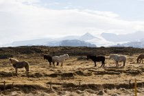 Коней, стоячи в соломи поля — стокове фото